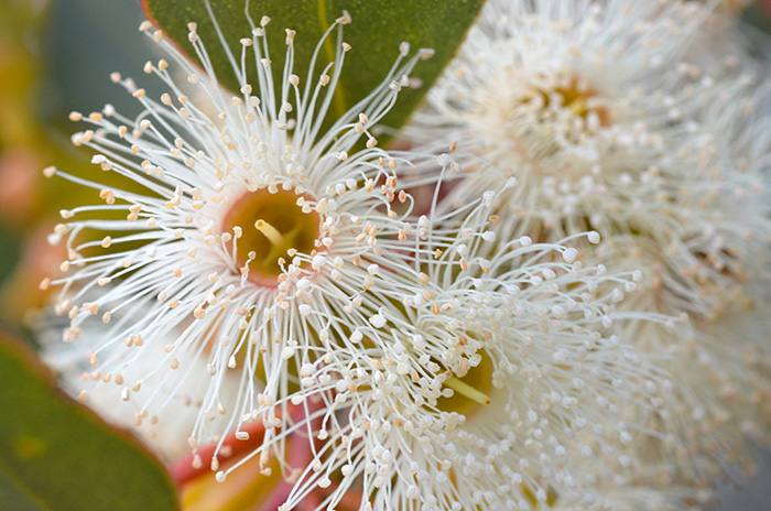 Essenze floreali australiane bush: Vendita Online